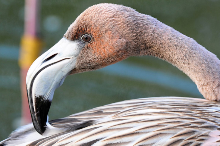 Подрастающий фламинго