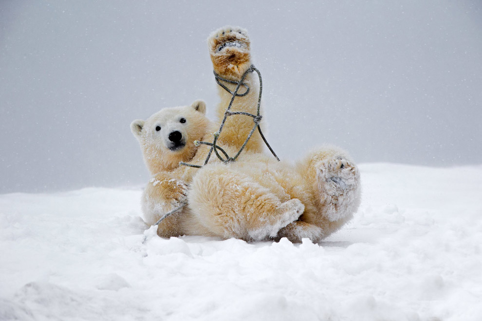 Белый медвежонок запутался в старой рыбацкой сети на Аляске