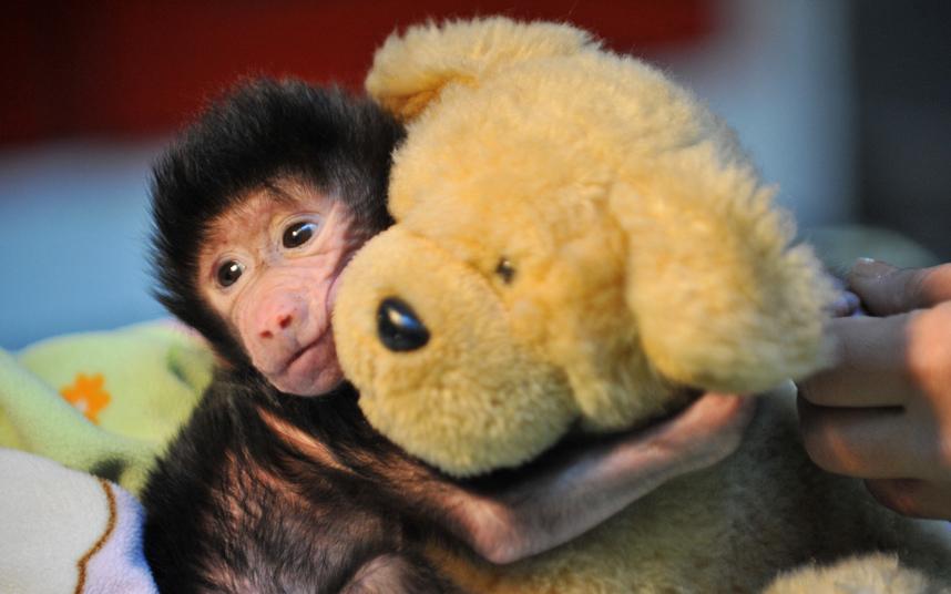 Новорожденный бабуин, от которого отказалась мама, с плюшевым мишкой в зоопарке в Турции