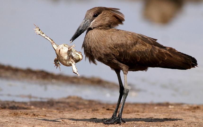 Жаба ускользает от голодного молотогла́ва или теневой птицы