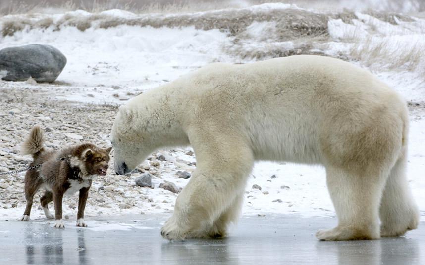 Пес и белый медведь в Черчилле, Канада