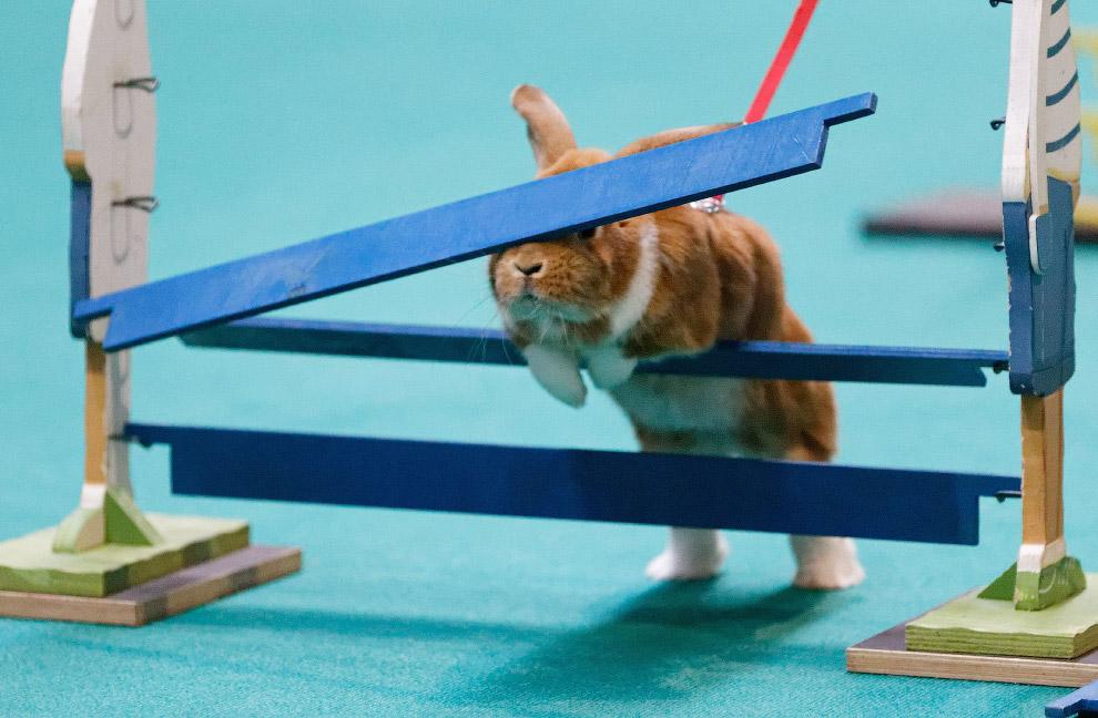 Кролик не рассчитал высоту на бегах на ярмарке в Штутгарте, Германия