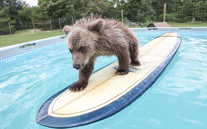 Здоровяк – так зовут этого 5-месячного сирийского бурого медвежонка