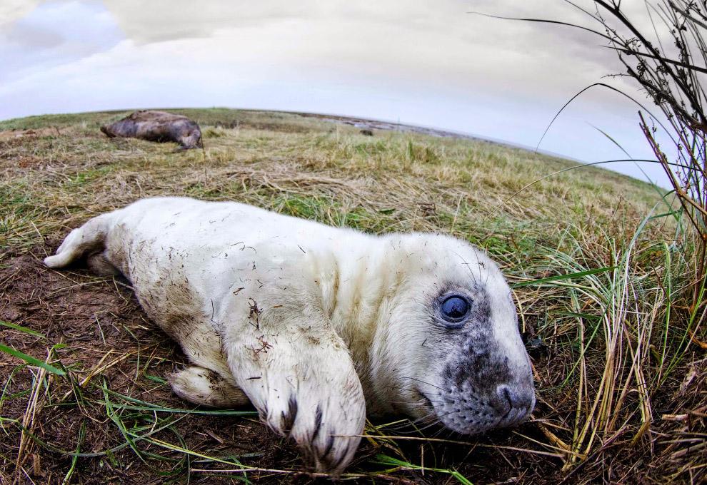 Тюлень на побережье графства Линкольншир