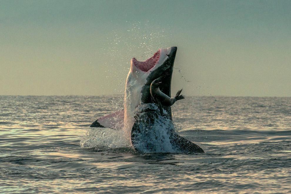 Белая акула промахнулась и упустила тюленя недалеко от Кейптауна, Южная Африка