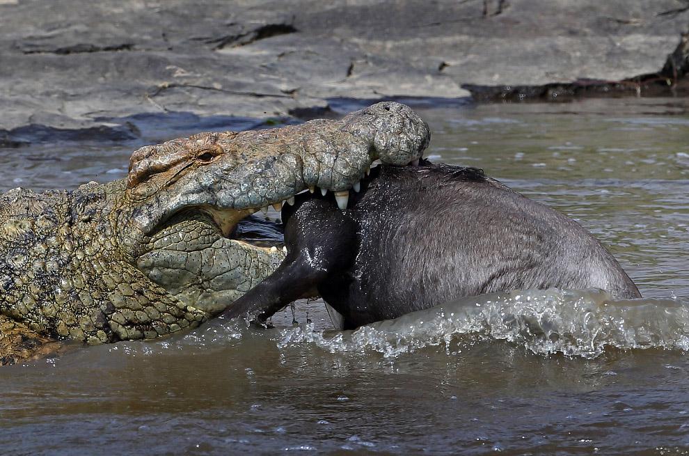 Голодный крокодил поймал антилопу гну в Национальном заповеднике в Кении