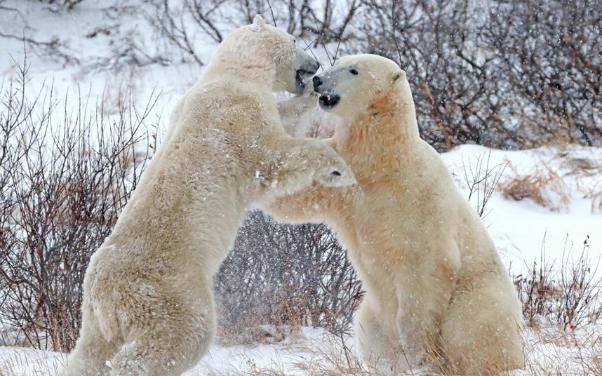 Игры белых медведей из Манитобы, Канада