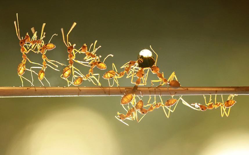 Муравьи несут каплю воды в муравейник