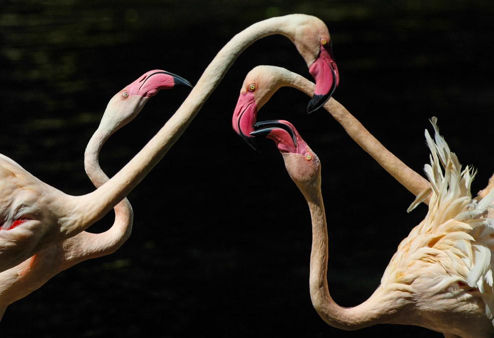 Фламинго в заповеднике в провинции Гуандун, Китай