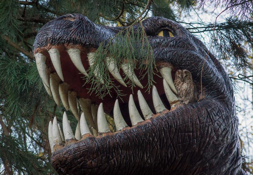 Неясыть сделал гнездо в пасти у тираннозавра, установленного в графстве Хартфордшир