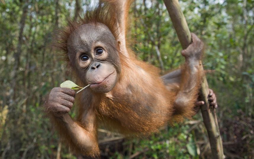 Детеныш орангутанга с острова Борнео, Индонезия