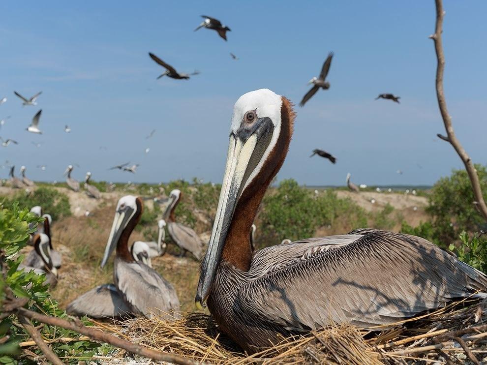 Это место в Южной Каролине – одно из крупнейших гнездовий пеликанов на побережье Атлантического океана