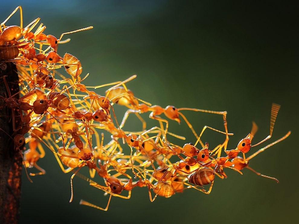 Живой мост строят муравьи, чтобы добраться до еды на другой ветке, Матарам, Индонезия