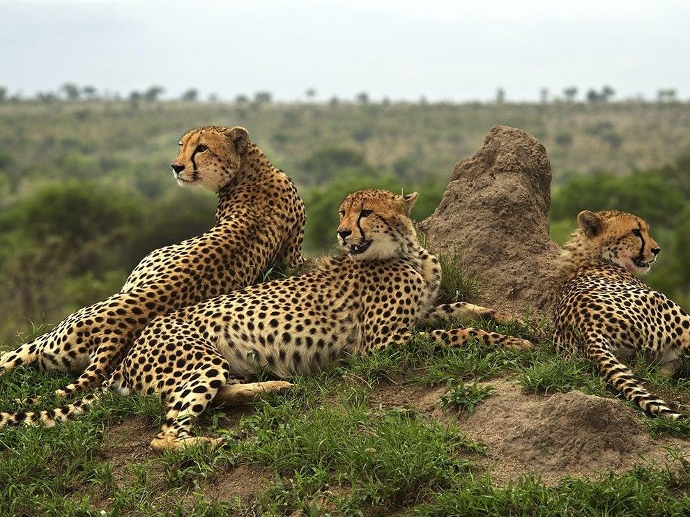 После неудачной охоты гепарды восстанавливают силы
