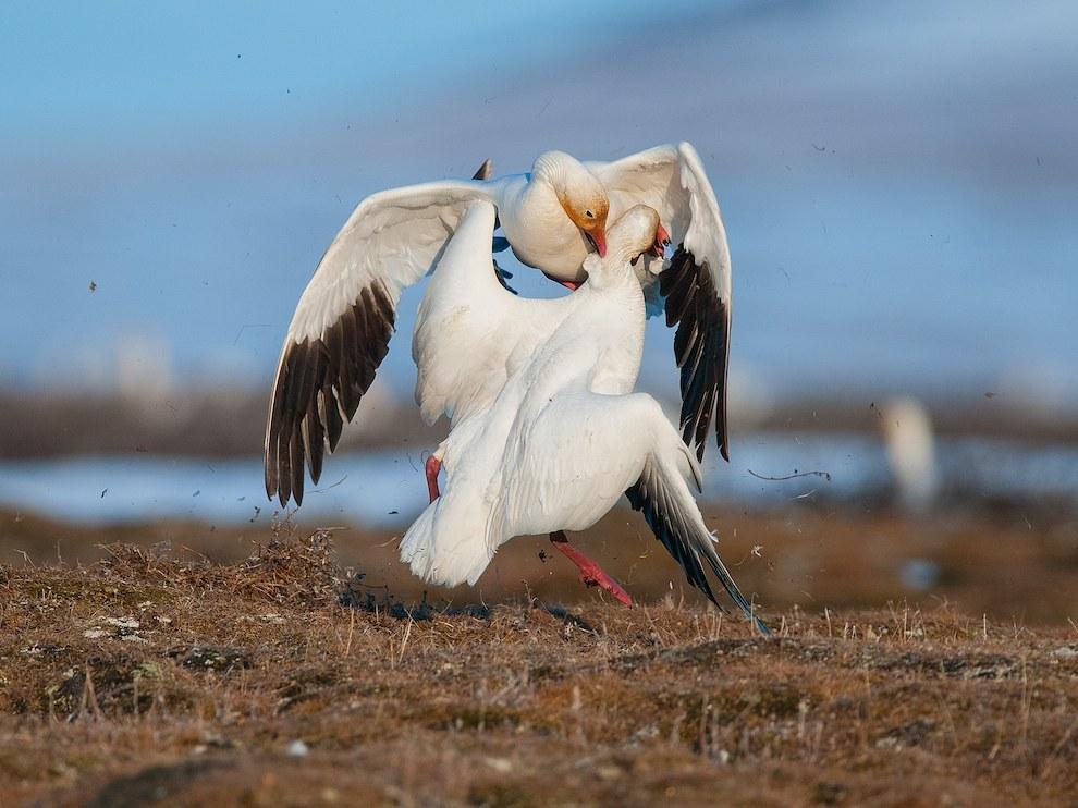 Белые гуси, остров Врангеля