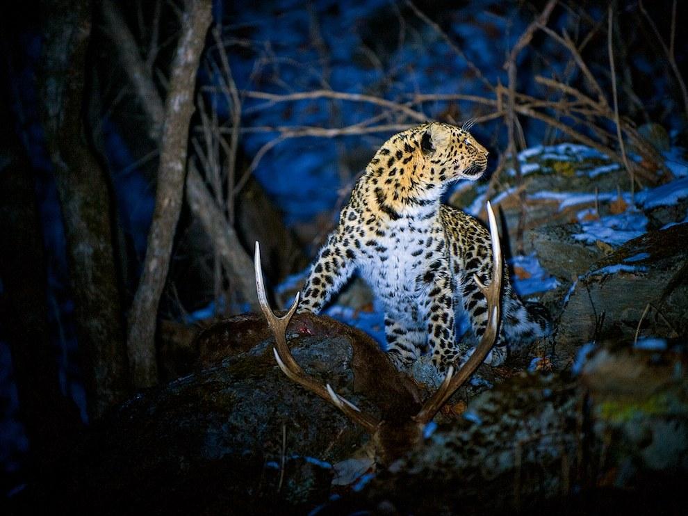 Дальневосточный леопард, Россия