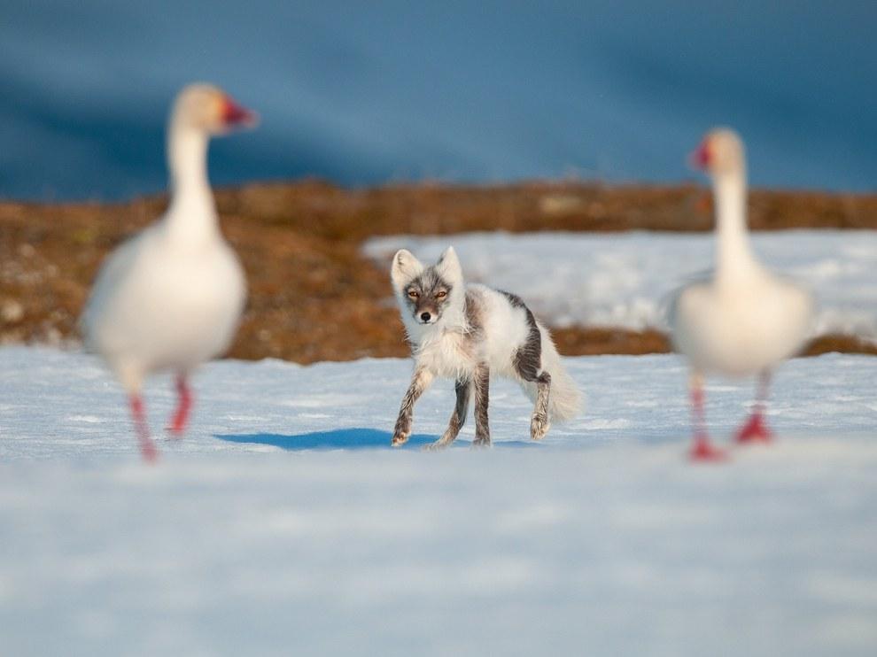 Белый гусь и песец – соперники, примерно равные по силам