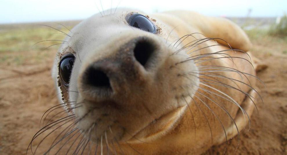 Любопытный тюлень на побережье Линкольншир
