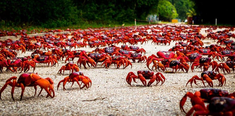 Красные крабы на острове Рождества