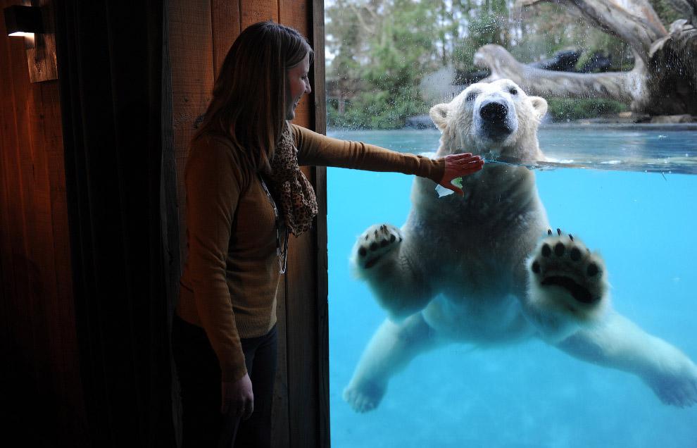 Белый медведь в зоопарке в округе Ла-Флеш, Франция