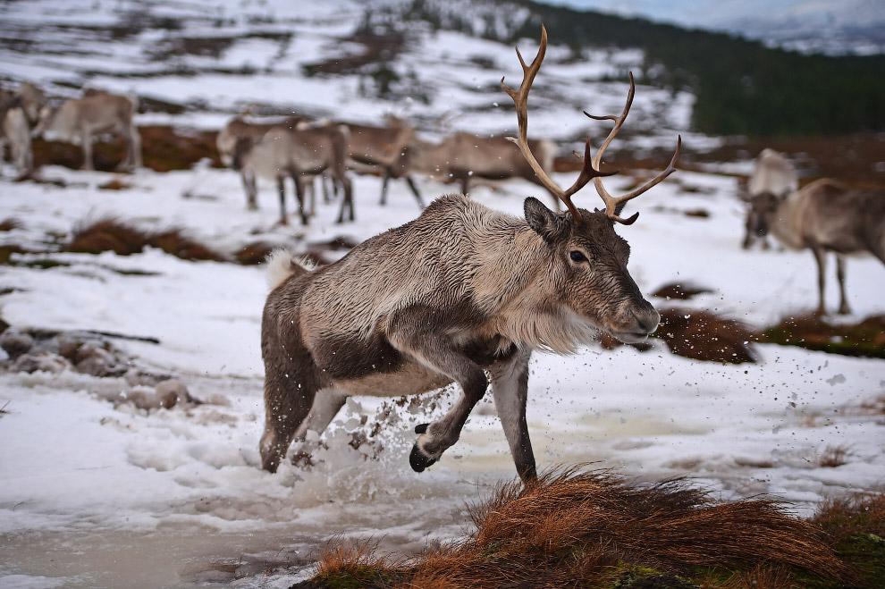Стадо оленей в национальном парке в Шотландии