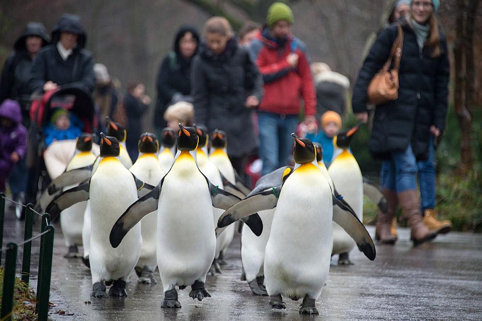 Королевские пингвины ходят по зоопарку в Базеле, Швейцария