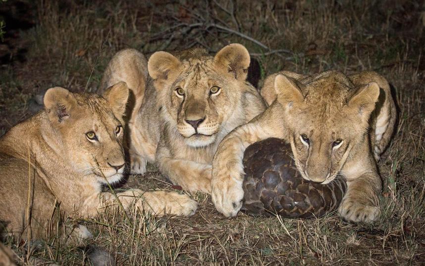 Трое маленьких льва поймали ящера и не знали, что с ним делать