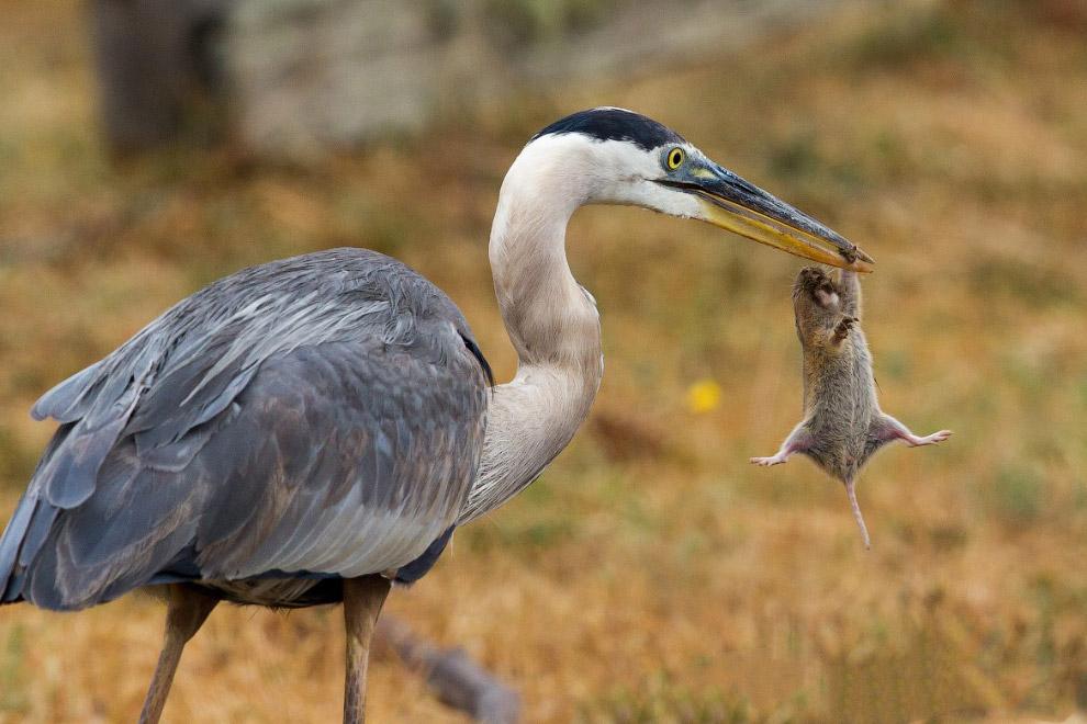 Большая голубая цапля пытается закусить сусликом