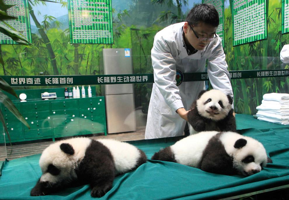 Ветеринар и 10-дневные панды из провинции Гуандун, Китай