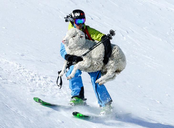 Лыжник, катавшийся на склонах гор в Новой Зеландии неожиданно наткнулся на раненую овцу