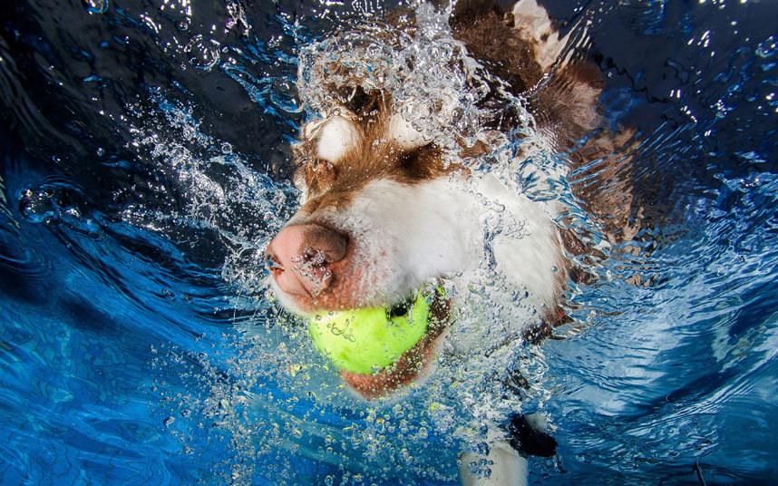 Собачий дайвинг в бассейне
