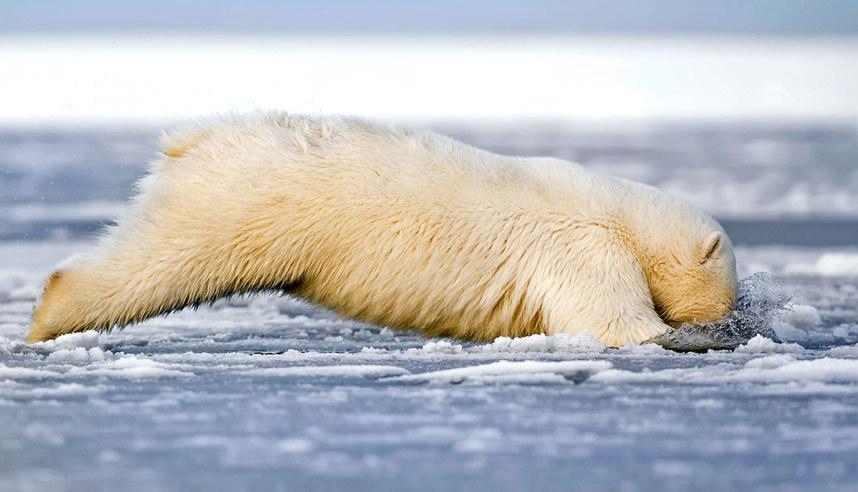 Белый медведь охотится на Аляске