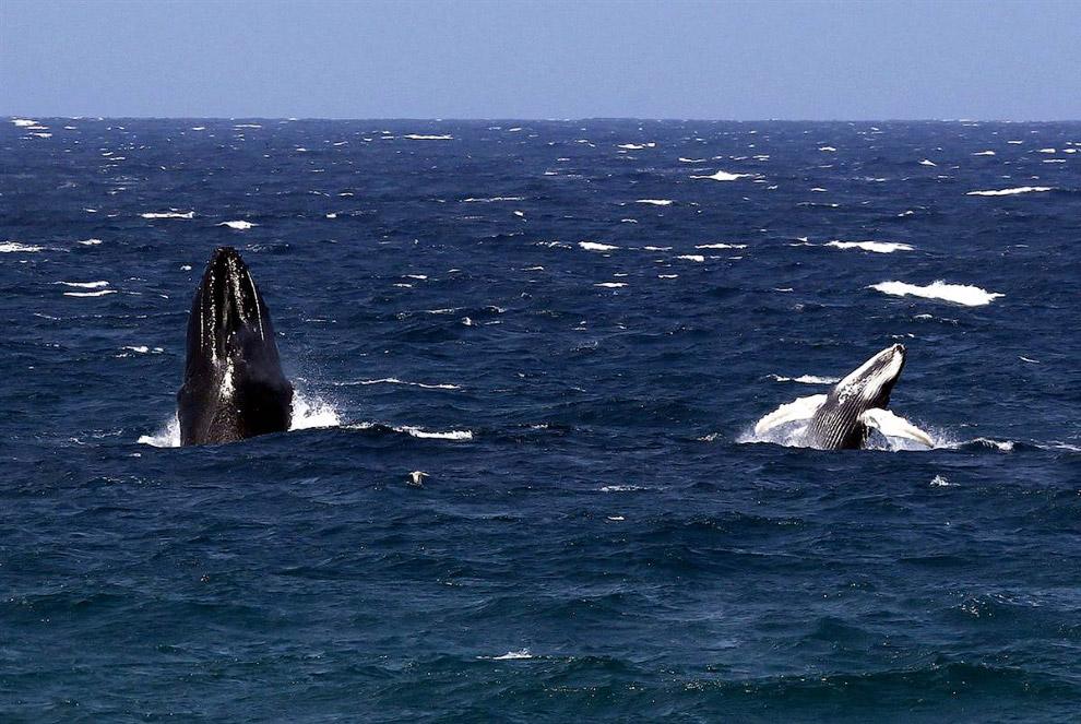 Горбатый кит с китенком у берегов Нового Южного Уэльса