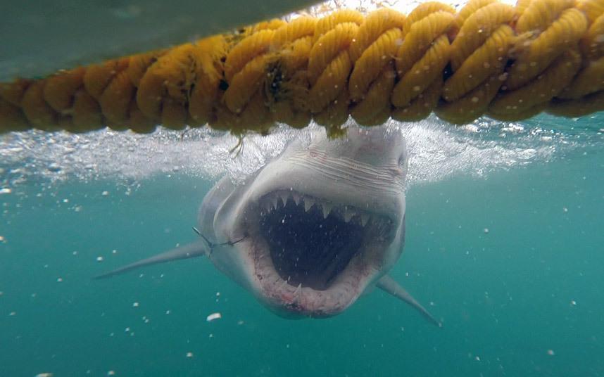 Белая акула у берегов Гансбая, Южная Африка