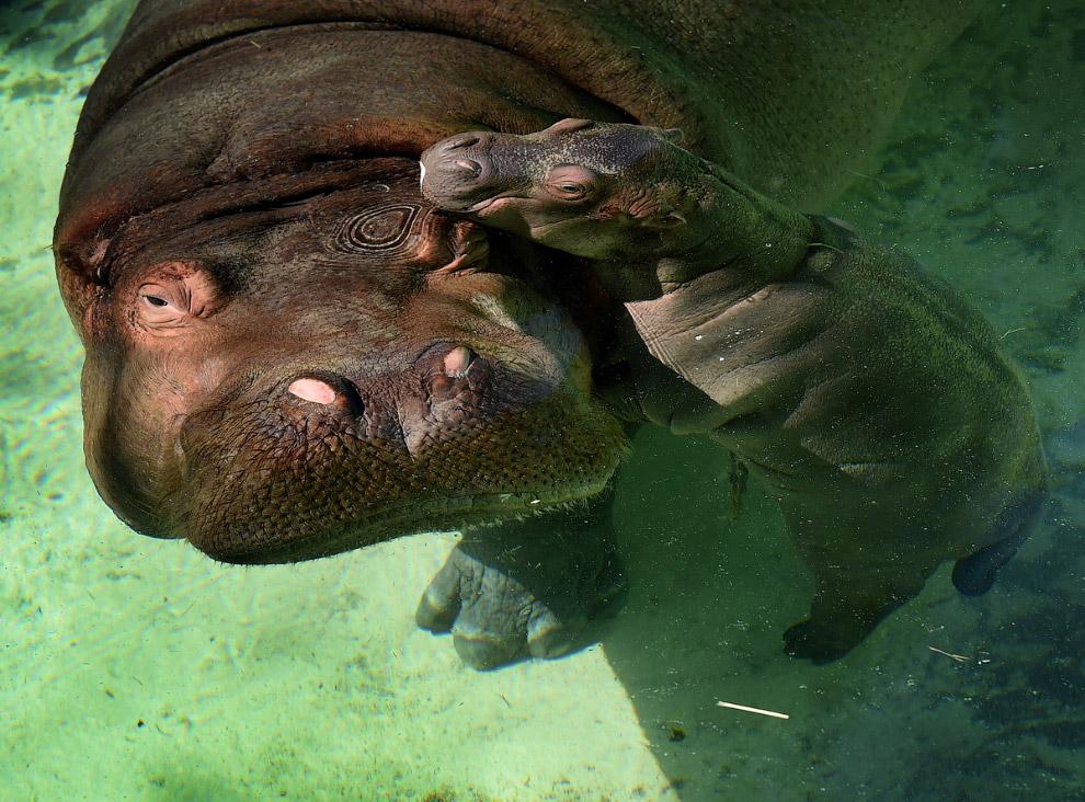Новорожденный бегемотик из зоопарка в Лос Анжелесе