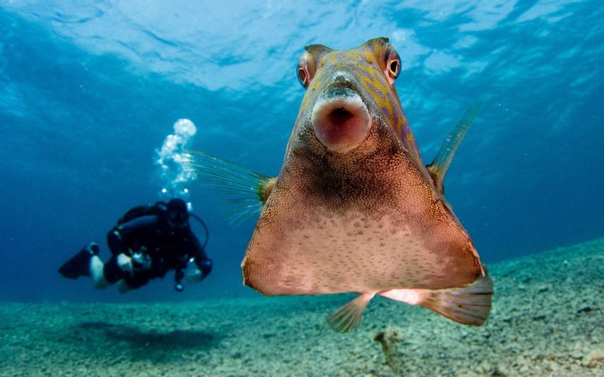 рыбка горбатый кузовок из Красного моря