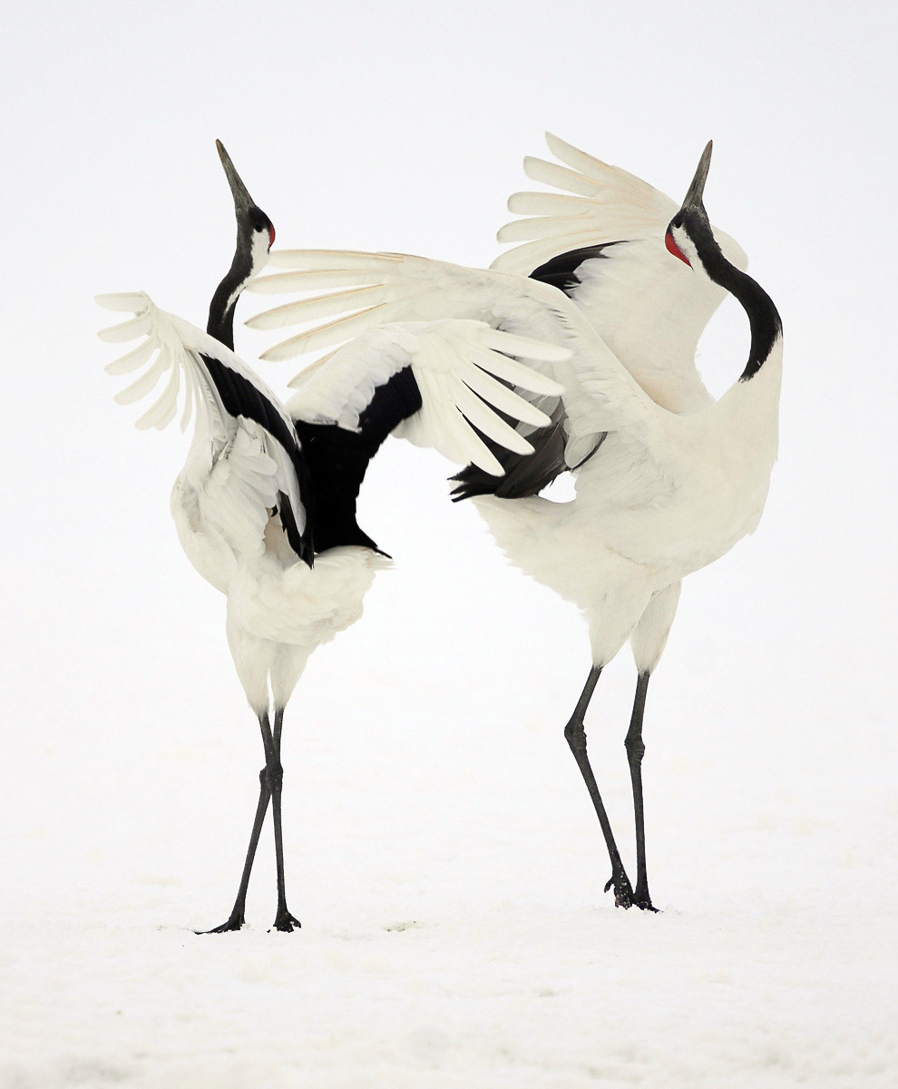 Танцы японских журавлей