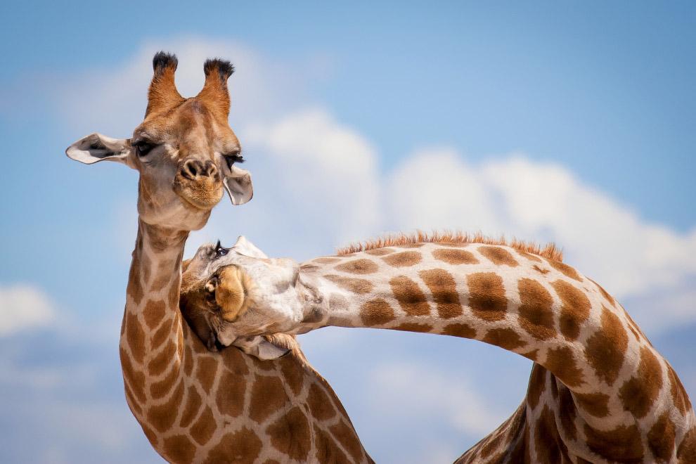 Жирафьи нежности