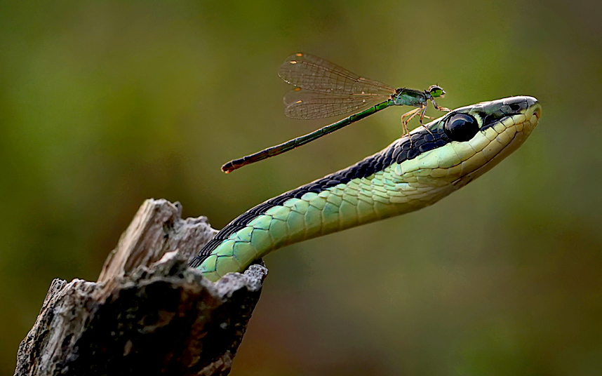 Храбрая стрекоза приземлилась на голову змеи