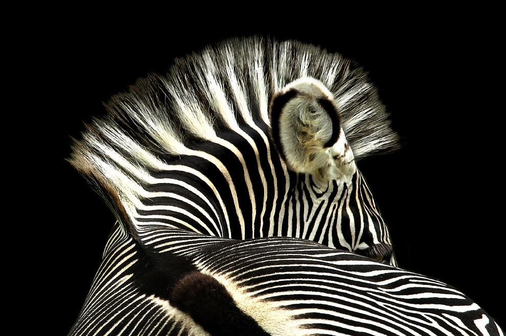 Нестандартный взгляд на зебру