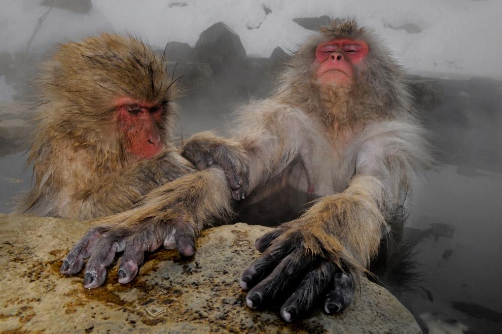 Снежные обезьяны в горах региона Нагано в Японии
