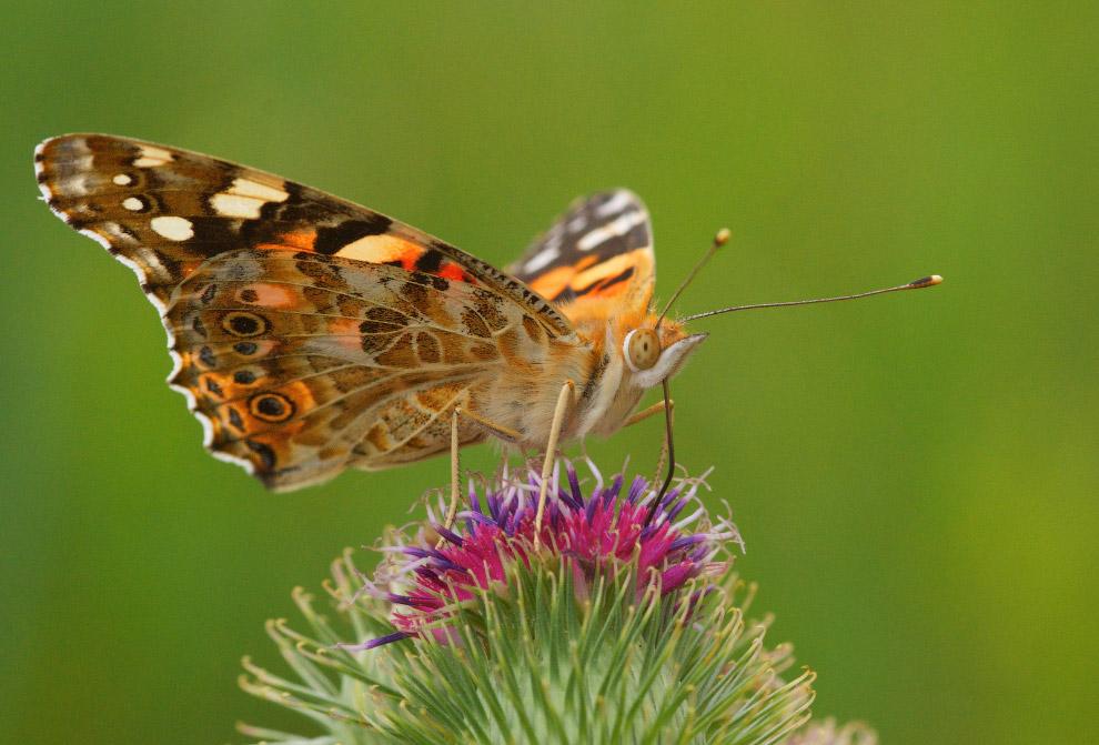 Задумчивая бабочка