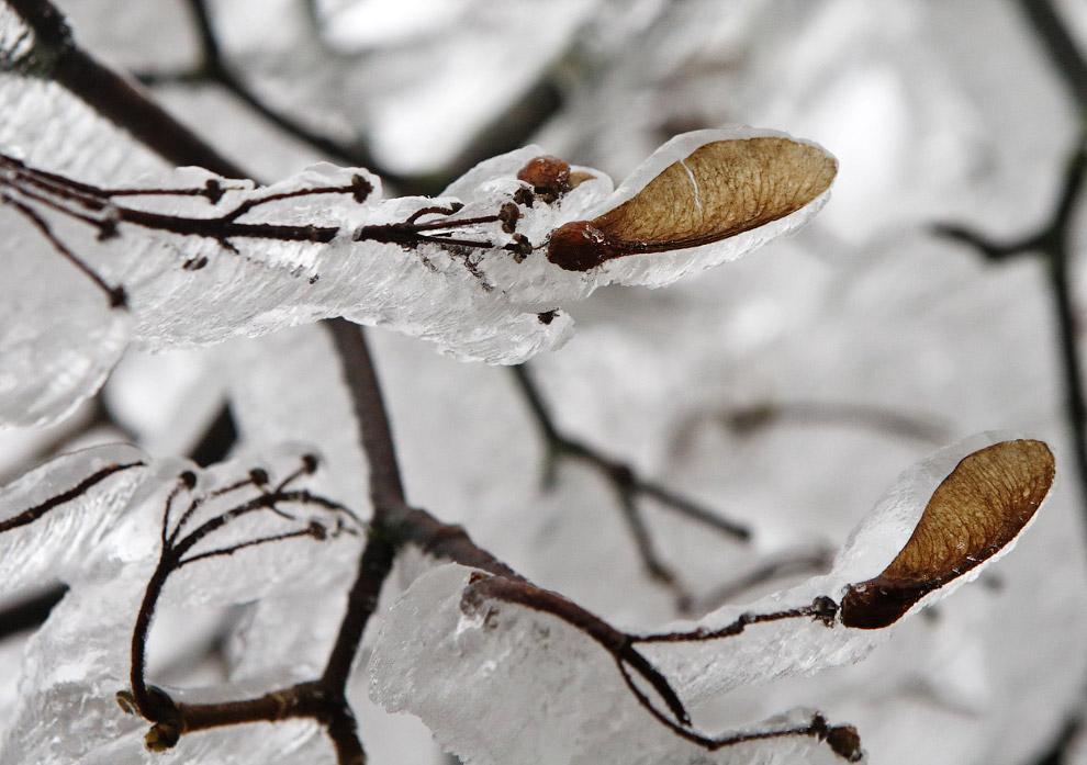 Ветки деревьев после ледяного дождя