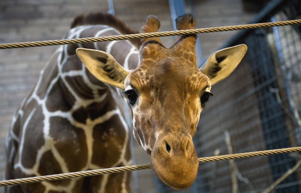 Убийство жирафа Мариуса