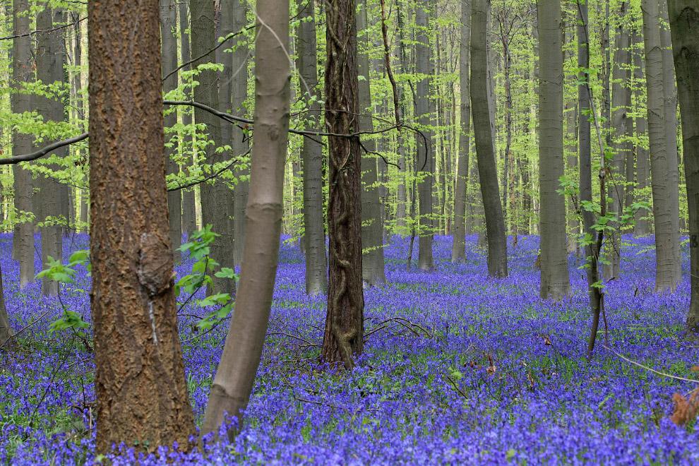 Тысячи колокольчиков, как ковер покрывающие лес на юге Брюсселя, Бельгия
