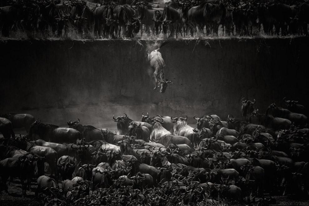 Антилопы гну пересекают реку Мара в Танзании во время ежегодной миграции из Танзании в Кению