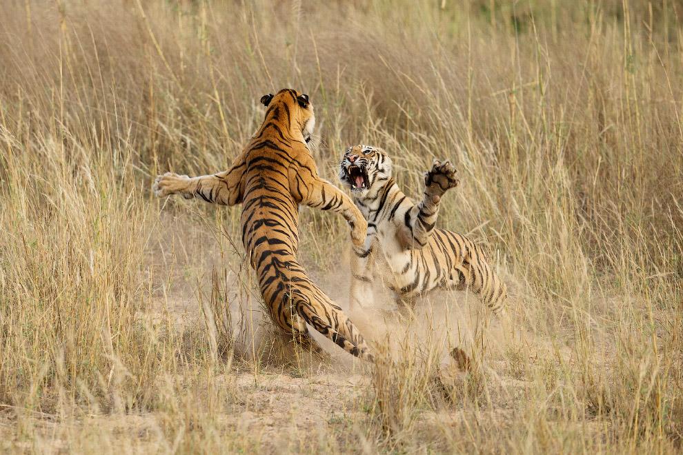 Игра подростков-тигров в Национальном парке в Мадхья-Прадеше, Индия