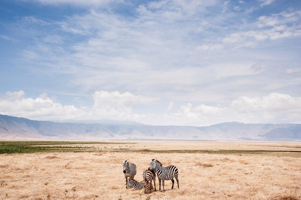 Зебры в кратере вулкана Нгоронгоро