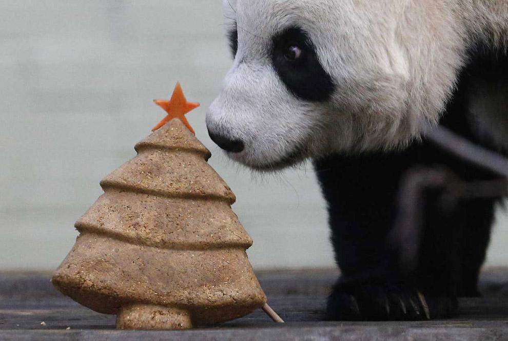 Панда вникает в свой подарок — торт, созданный в форме рождественской елки.