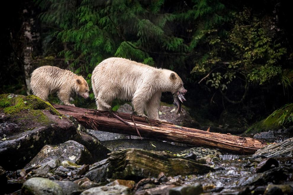 кермодские медведи